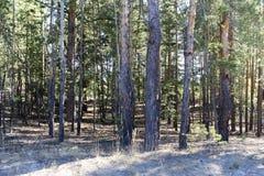 Pinhos na floresta ensolarada imagens de stock royalty free