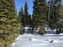 Pinhos nevado Fotos de Stock Royalty Free