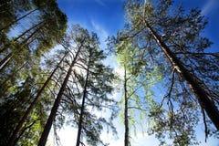 Pinhos no fundo do céu azul e do sol no parque nacional Repovesi, Finlandia Foto de Stock Royalty Free