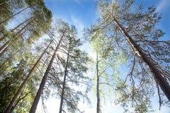 Pinhos no fundo do céu azul e do sol no parque nacional Repovesi, Finlandia Imagens de Stock