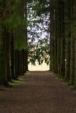 Pinhos no parque Imagens de Stock Royalty Free