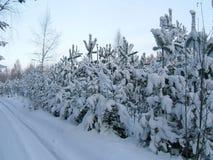 Pinhos novos cobertos com a neve fotos de stock royalty free