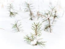 Pinhos pequenos sob a neve imagens de stock royalty free