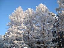 Pinhos Siberian, vidoeiros Fotos de Stock Royalty Free