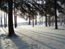 Pinhos Siberian, vidoeiros Imagem de Stock Royalty Free