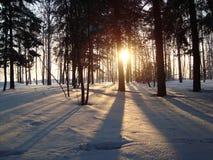 Pinhos Siberian, vidoeiros Imagens de Stock