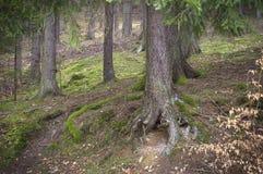 Pinhos velhos grandes na floresta do outono Imagem de Stock