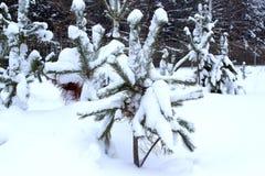 Pinhos verdes cobertos com a neve e a geada bonitas Imagens de Stock