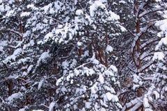 Pinhos verdes e abetos cobertos com a neve e a geada bonitas Imagens de Stock Royalty Free