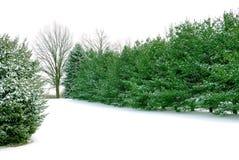 Pinhos verdes na neve branca do inverno Foto de Stock