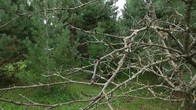 Pinhos verdes pequenos no jardim Os ramos secos da árvore são cobertos com o musgo Filiais verdes do pinho vídeos de arquivo