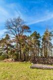 Pini al bordo di una foresta vicino ad un campo in repubblica Ceca Giorno di primavera nel paesaggio rurale della foresta firewoo fotografie stock libere da diritti