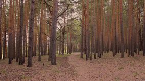 Pini alti in abetaia che ondeggia in vento e sentiero nel bosco fra gli alberi archivi video