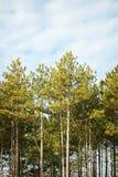 Pini alti che stanno contro il cielo blu Fotografie Stock Libere da Diritti
