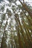 Pini alti contro il cielo al pino Forest Valley, Vagamon, Idukki, Kerala, India immagini stock