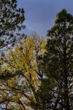 Pini alti e un albero del pioppo Fotografia Stock Libera da Diritti