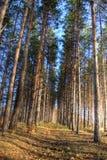Pini alti nella foresta di autunno Fotografie Stock Libere da Diritti
