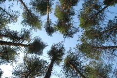 Pini alti in una foresta di conifere in un cerchio su un fondo del cielo blu di estate immagini stock libere da diritti