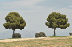 Pini che crescono in Spagna all'aperto Immagini Stock