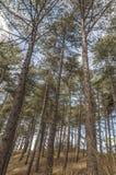 Pini che stanno insieme in una foresta fotografia stock libera da diritti
