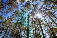 Pini contro chiaro cielo blu con il raggio del sole Fotografia Stock