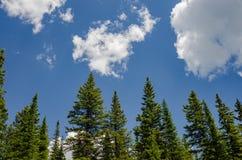 Pini contro cielo blu Fotografie Stock Libere da Diritti