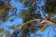 Pini contro il cielo Fotografie Stock