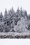 Pini coperti in neve Fotografia Stock Libera da Diritti