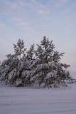 Pini dell'abete rosso del paesaggio di inverno Immagini Stock
