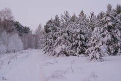 Pini dell'abete rosso del paesaggio di inverno Immagine Stock