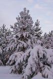Pini dell'abete rosso del paesaggio di inverno Fotografie Stock