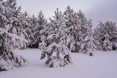 Pini dell'abete rosso del paesaggio di inverno Fotografie Stock Libere da Diritti