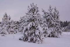 Pini dell'abete rosso del paesaggio di inverno Immagini Stock Libere da Diritti