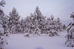 Pini dell'abete rosso del paesaggio di inverno Immagine Stock Libera da Diritti