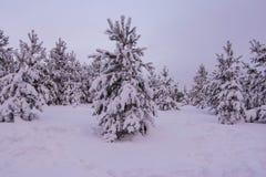 Pini dell'abete rosso del paesaggio di inverno Fotografia Stock