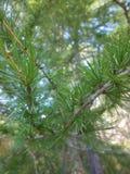Pini dell'albero del ` s del pino Fotografie Stock