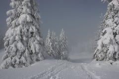 Pini dello Snowy Fotografia Stock Libera da Diritti