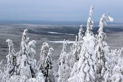 Pini di inverno della montagna Fotografia Stock