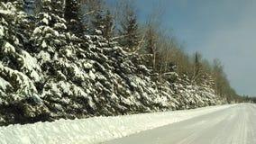 Pini di Snowy Fotografia Stock