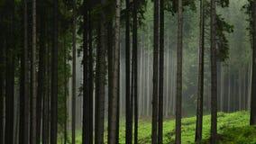 Pini dopo pioggia Fotografia Stock