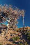 Pini e cielo blu asciutti Paesaggio costiero della foresta moro Fotografie Stock
