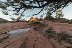 Pini e menagrami di inverno nel paese dello slickrock fotografia stock