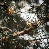 Pini e pigne in un'attaccatura dell'albero fotografia stock