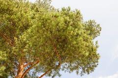 Pini e un cielo blu nei precedenti Fotografia Stock Libera da Diritti