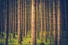 Pini Forest Pattern Immagini Stock Libere da Diritti