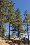 Pini in foresta nazionale Fotografia Stock