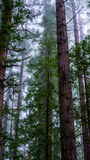 Pini in foresta nebbiosa Immagini Stock