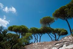 Pini gentili Mediterranei Immagini Stock Libere da Diritti