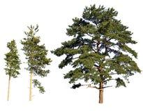 Pini isolati albero fotografie stock libere da diritti
