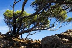 Pini mediterranei che si trovano a causa del vento i Immagine Stock